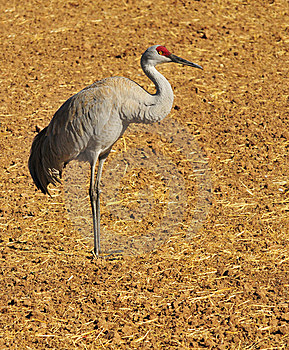 Greater Sandhill Crane Stock Photo - Image: 8418250