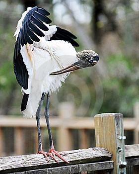 Wood Stork Preening Royalty Free Stock Images - Image: 8418419