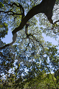 Tree Reaching For The Sky Royalty Free Stock Images - Image: 8420469