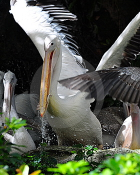 Pelican Eating A Fish Stock Image - Image: 8420961