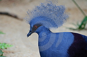Victoria Crowned Pigeon Royalty Free Stock Images - Image: 8421689