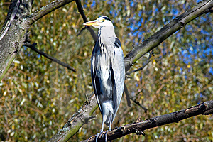 The Heron Stock Image - Image: 8421691