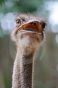 Ostrich Stock Photo - Image: 8421730