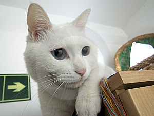 White Cat Portrait Stock Photo - Image: 8422000