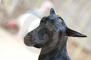 Black Goat Stock Photos - Image: 8422013