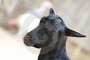 Czarny Kózka Zdjęcia Stock - Obraz: 8422013