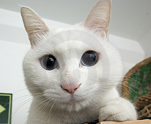 White Cat Portrait Stock Image - Image: 8422171