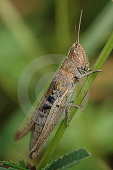 Grasshopper Royalty Free Stock Images - Image: 8422789