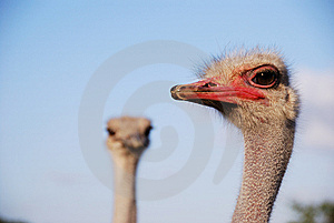 Fanny Ostrich Royalty Free Stock Photo - Image: 8423155