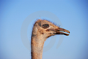 Fanny Ostrich Stock Photo - Image: 8423160