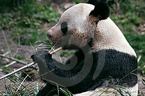 Panda Eating Bamboo Stock Images - Image: 8423264