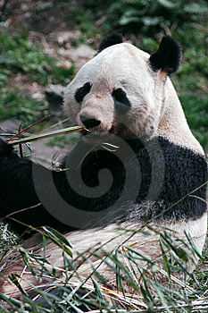 Panda Stock Images - Image: 8423294