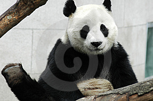 Panda Stock Photography - Image: 8423332