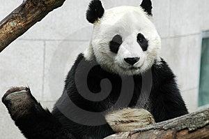 Panda Stock Photography - Image: 8423332