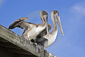 Pelicans Royalty Free Stock Photos - Image: 8423698