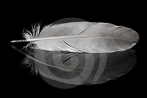 Pigeon Feather And Its Reflection Stock Photos - Image: 8424233
