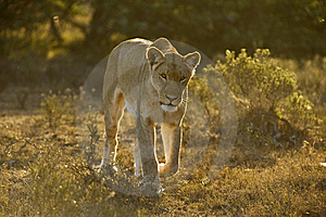 Approaching Lioness Stock Photography - Image: 8425252