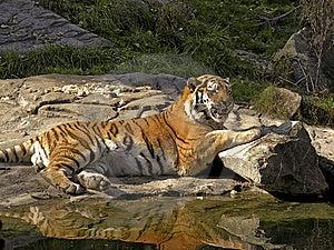 Tiger Stock Photo - Image: 8425510