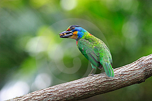 Muller's Barbet Royalty Free Stock Photo - Image: 8426105