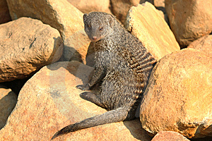 Banded Mongoose Royalty Free Stock Image - Image: 8426346