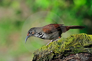 Spot-breated Scimitar Babbler Royalty Free Stock Image - Image: 8426486