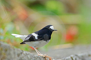 Little Forktail Stock Photo - Image: 8426630