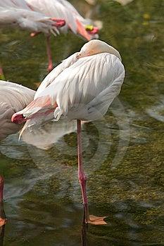 Flamingo Royalty Free Stock Image - Image: 8426706