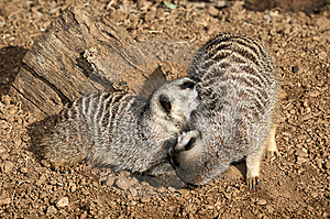 Two Meerkats Royalty Free Stock Photo - Image: 8427145
