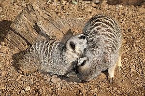 Zwei Meerkats Lizenzfreies Stockfoto - Bild: 8427145