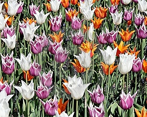 Tulip Bed Royalty Free Stock Photography - Image: 8427257