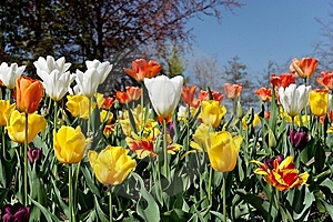 Tulip Bed Royalty Free Stock Image - Image: 8427296