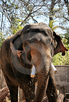 Brown Elephant Chewing Straw Stock Image - Image: 8427311