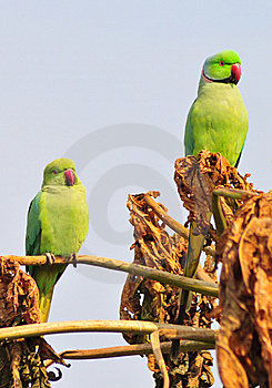 Green Parrot Royalty Free Stock Photo - Image: 8427965