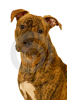 Staffordshire Terrier Dog Royalty Free Stock Image - Image: 8428156