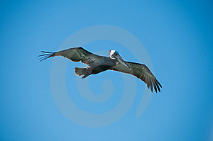 Pelican Stock Images - Image: 8428184