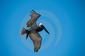 Pelican Royalty Free Stock Photos - Image: 8428278