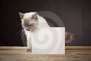 Ragdoll Cat Royalty Free Stock Photography - Image: 8428657