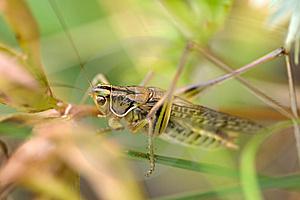Grasshopper Stock Photography - Image: 8429382
