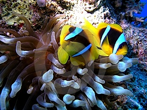 Anemone Fish Stock Images - Image: 8430164