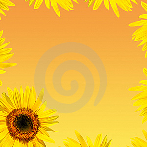 Sunflower Petals Royalty Free Stock Photography - Image: 8430307