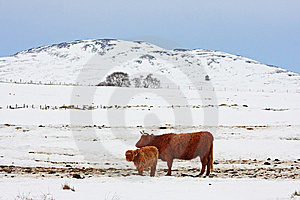 Highland Cow In The Snow Stock Images - Image: 8430714