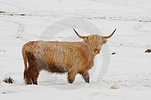 Highland Cow In The Snow Stock Photography - Image: 8430842