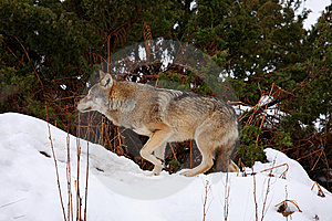 Wolf In The Snow Royalty Free Stock Photo - Image: 8431225