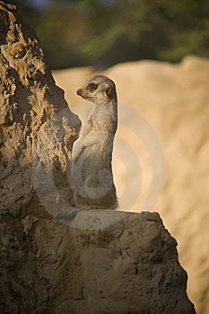 Meerkat Royalty Free Stock Photography - Image: 8432247