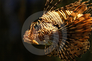 Tiger/Turkey  Fish Royalty Free Stock Photography - Image: 8434147