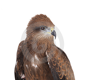 Brown Eagle Royalty Free Stock Photo - Image: 8436595