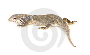 Gecko Royalty Free Stock Image - Image: 8436796