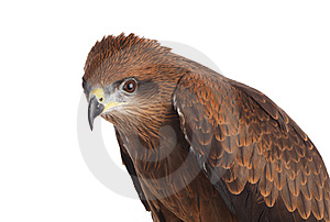 Eagle Stock Image - Image: 8437011