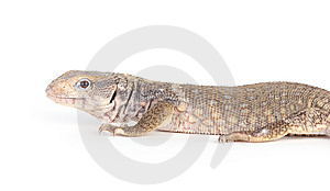 Lizard Royalty Free Stock Image - Image: 8437126