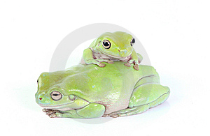 Frogs Stock Image - Image: 8437441